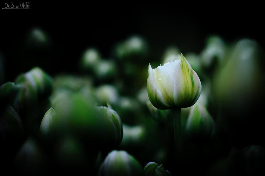 Keukenhof plný tulipánů
