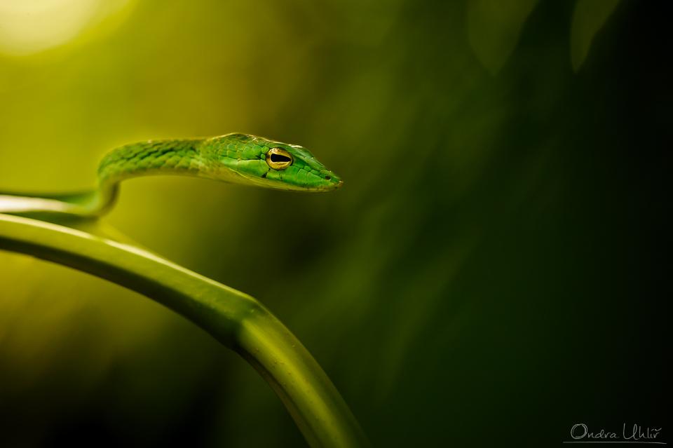 Borneo – hadi