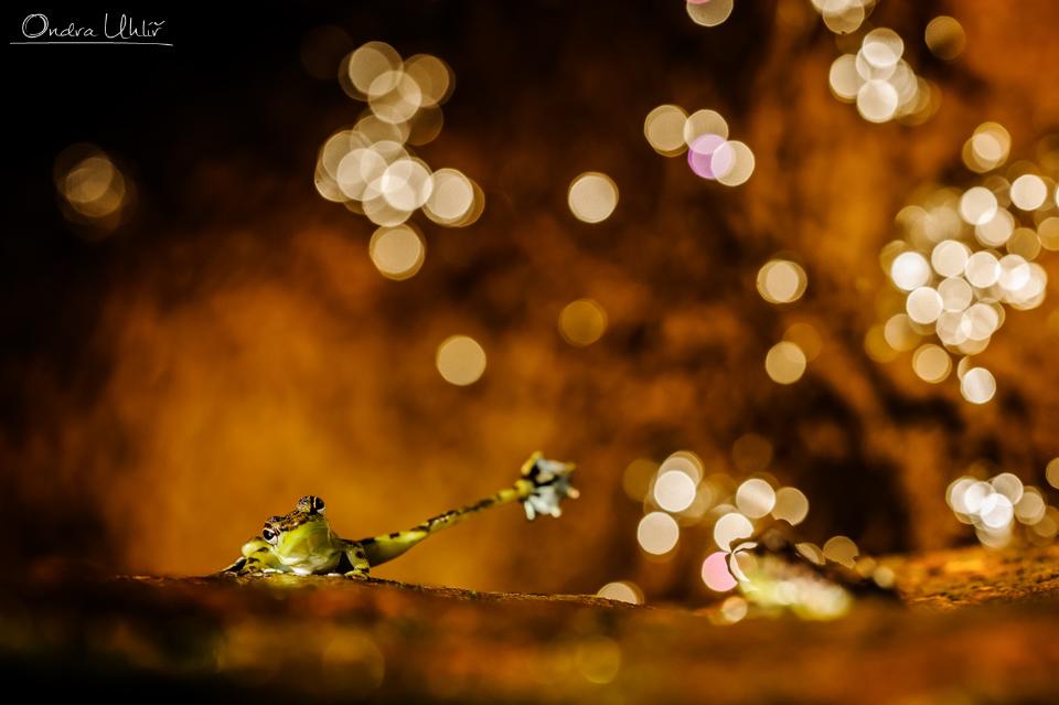 Borneo – žáby