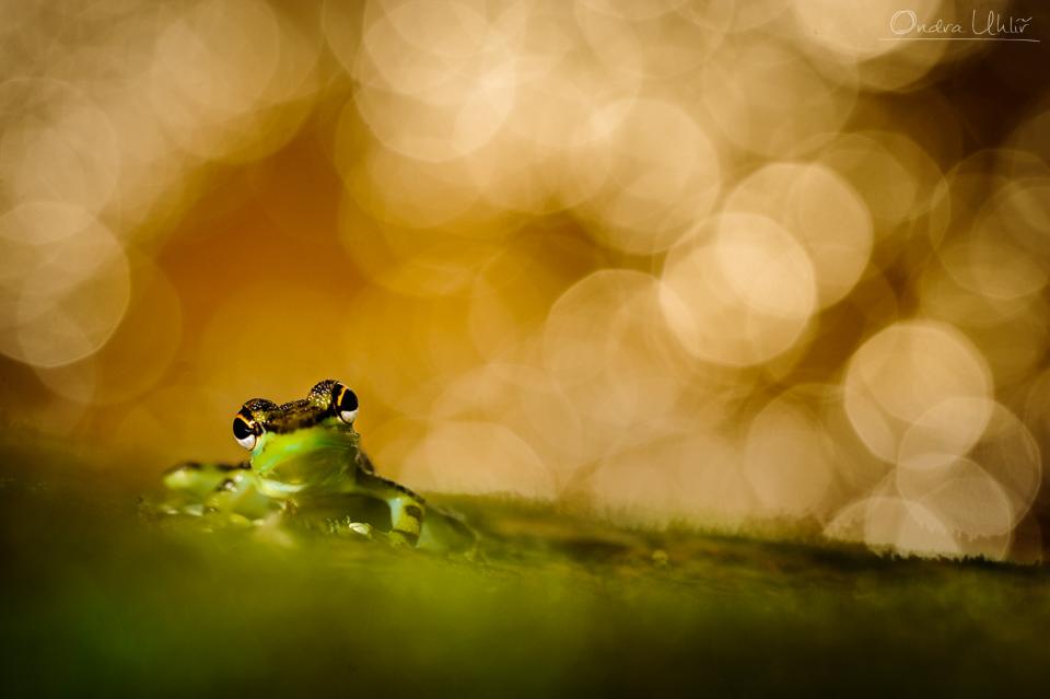Žabka zatím neurčená