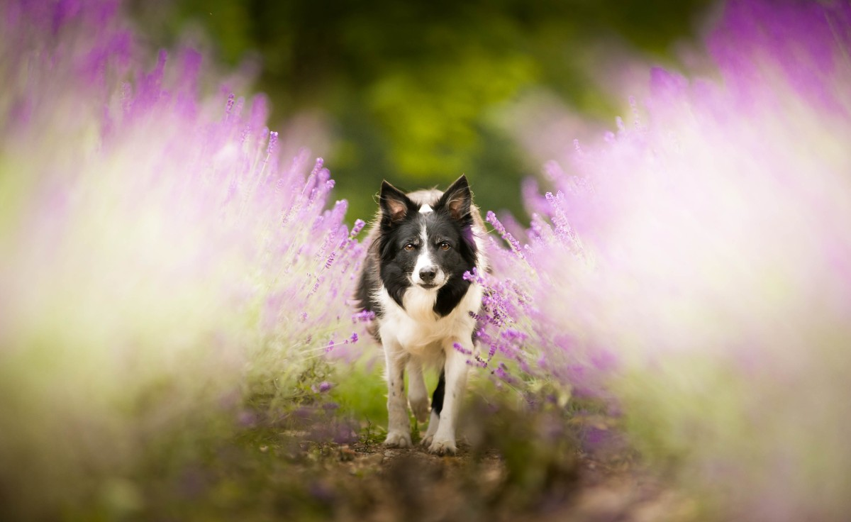 the-dog-in-lavenders-1200